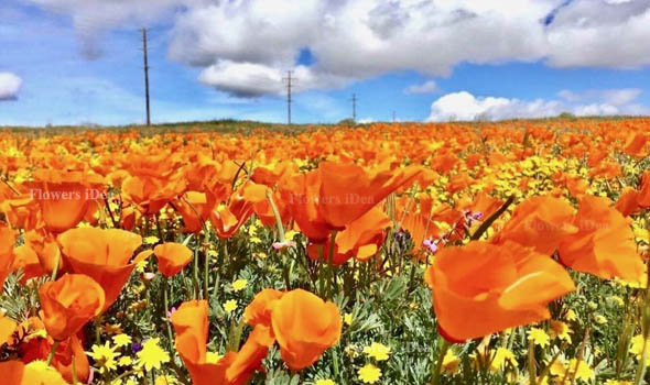 A Wonderful Celebration of the California State Flower