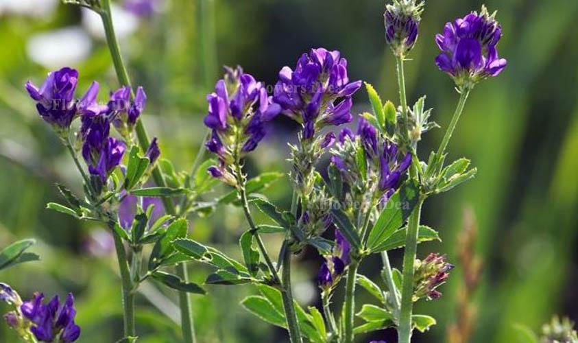 Alfalfa Smallest Flowers
