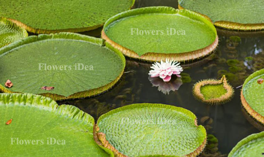 Amazon Water Lily Biggest Flower