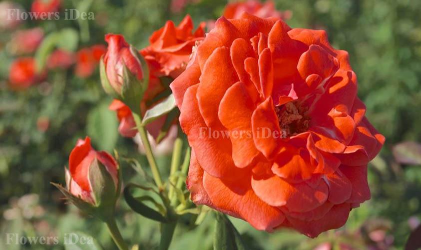 April in Paris Fragrant Roses