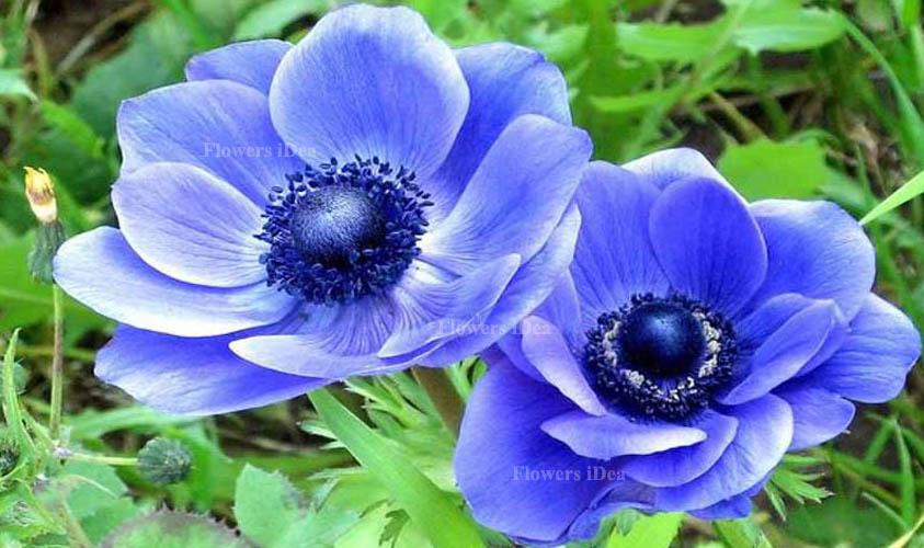 Anemone Beautiful Flowers