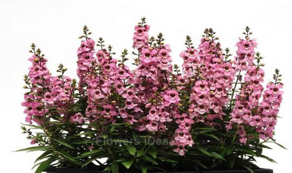 Angelonia Flowers Bloom in Summer