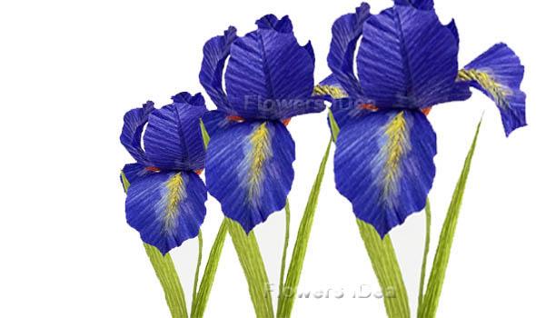 Bearded Iris Flowers Bloom in Spring