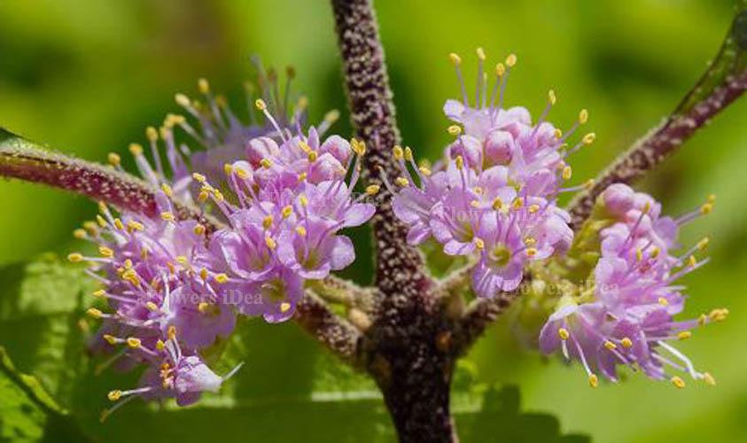 Beautyberry Flowers Bloom in Fall
