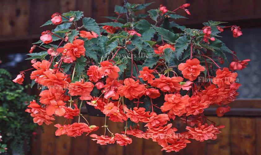 Begonia is Another Beautiful Hanging Baskets Flower