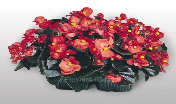 Begonias flower