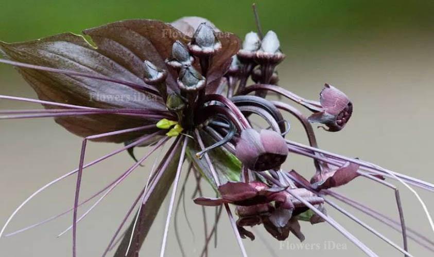 Black Bat is Strange Looking Flower