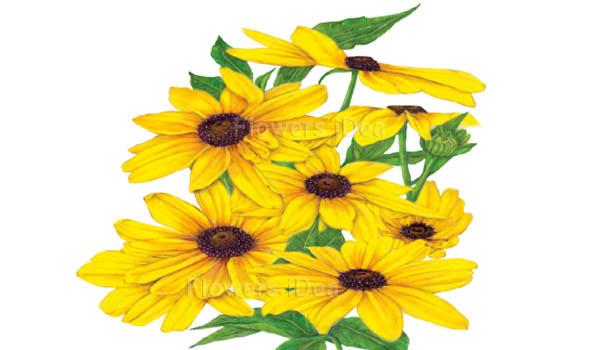 Black-Eyed Susans flower