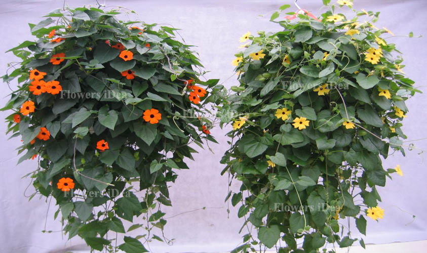 Black-eyed Susan Vine is Another Beautiful Hanging Baskets Flower