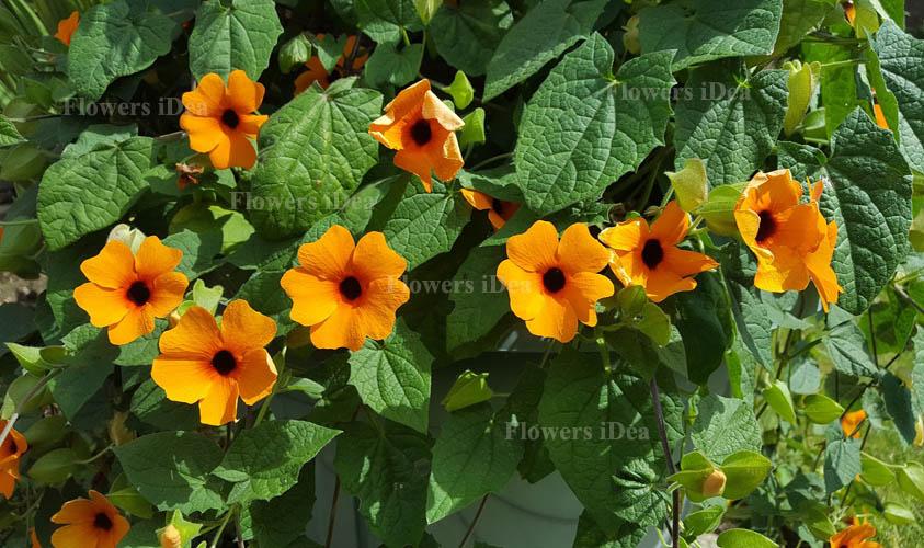 Black-eyed Susan vine Flowers Bloom in Fall