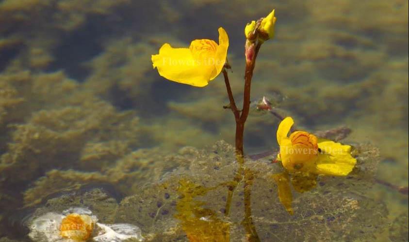 Bladderwort Smallest Flowers