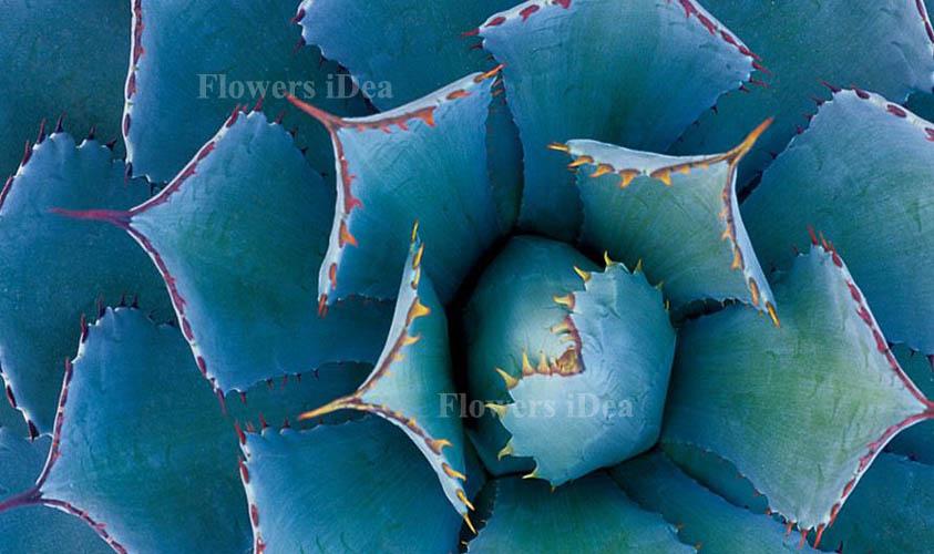 Blue Agave Biggest Flower