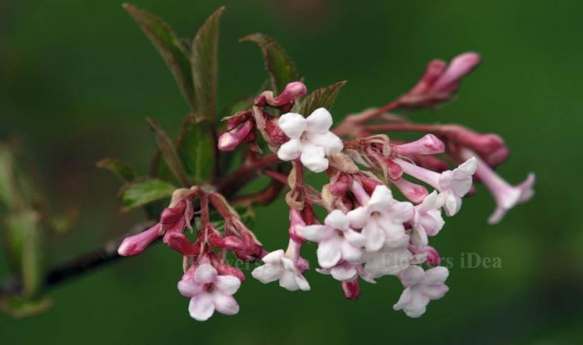 Bodnant Viburnum Flowers for Christmas