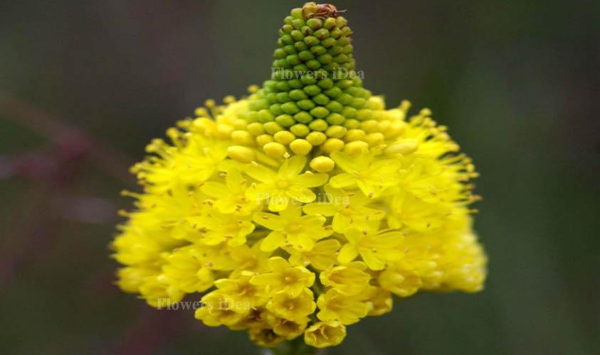 Bulbinella Nutans Flower