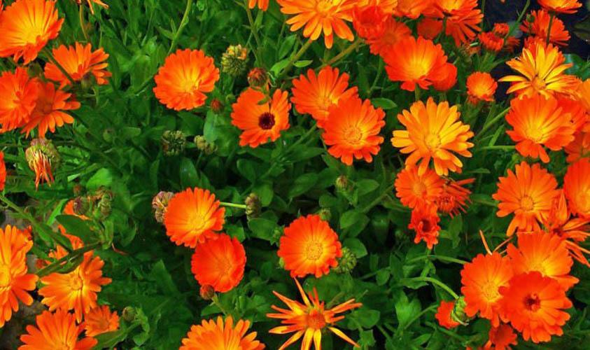 Calendulas Flower
