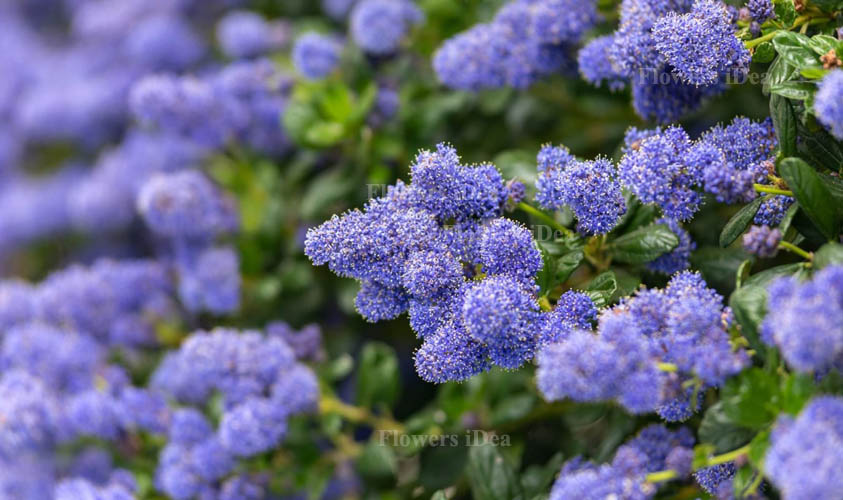 Californian Lilac Flowers Bloom in Fall