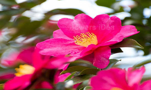 Lantana Beautiful Flowers