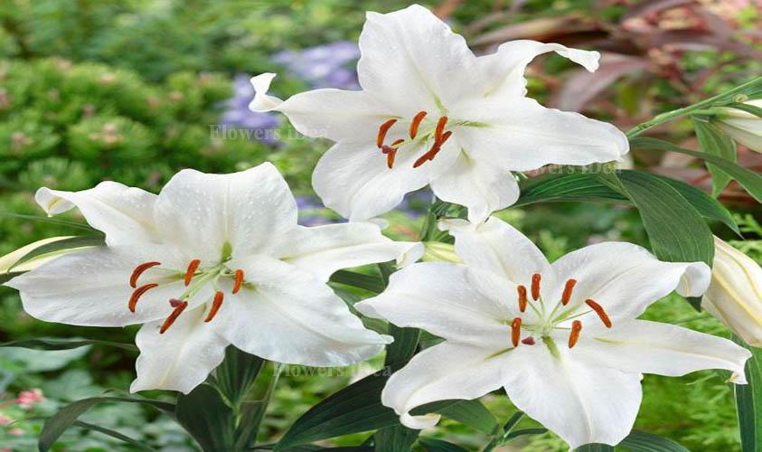 Casa Blanca Lily Flower