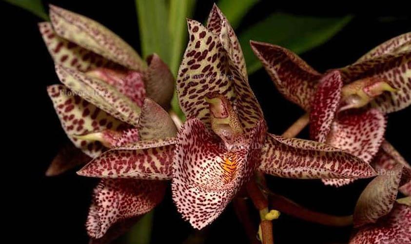 Catasetum Orchids Flower