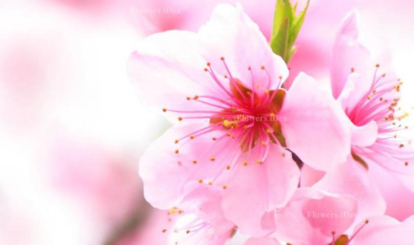 Cherry Blossom Beautiful Flowers