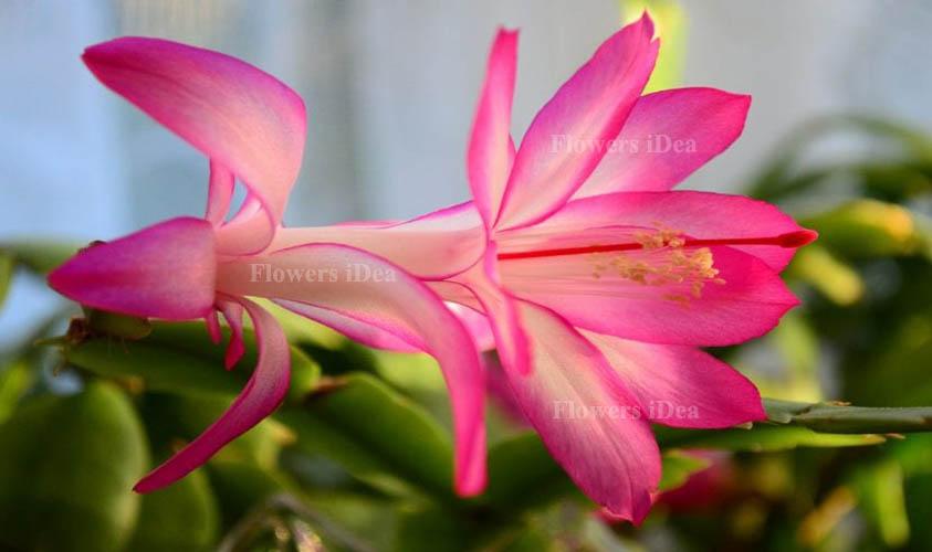 Christmas Cactus Flower Bloom in Winter