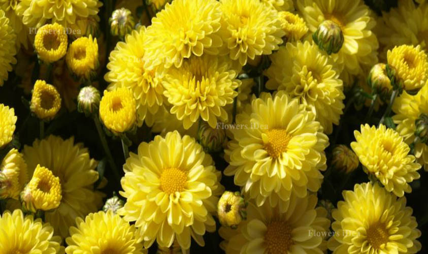 Chrysanthemums Beautiful Flowers