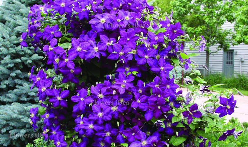 Clematis is Another Beautiful Hanging Baskets FlowerClematis is Another Beautiful Hanging Baskets Flower