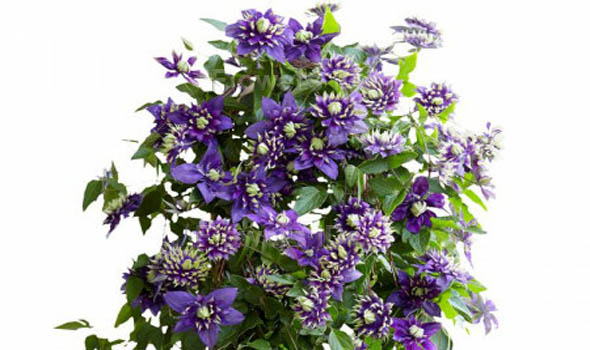 Clematis Flowers Bloom in Summer