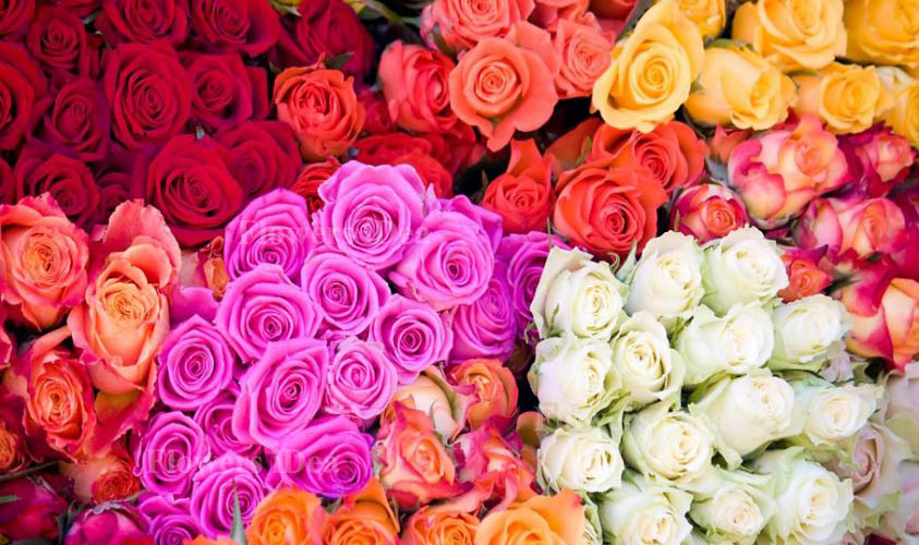Wonderful Secret of Each and Every Color of Roses Flowers
