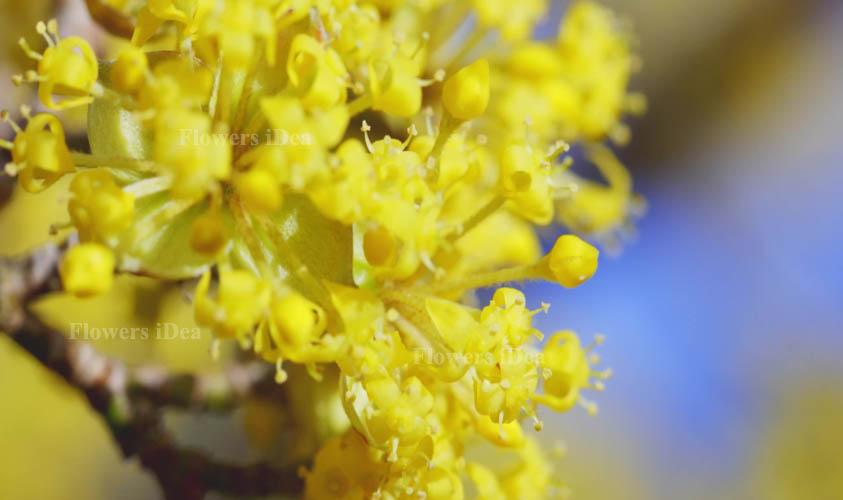 Cornelian Cherry Flower