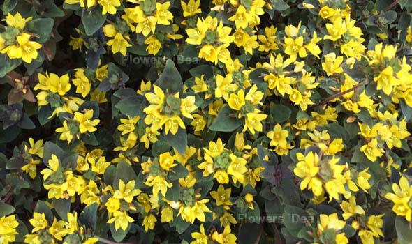 Creeping Jenny Flowers Bloom in Fall