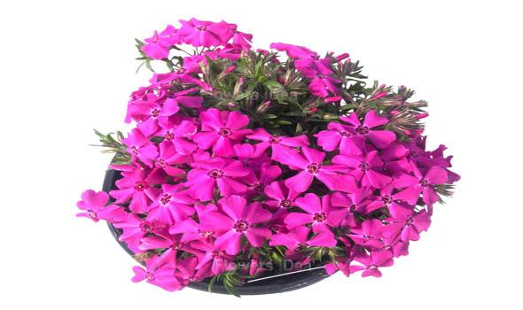 Creeping Phlox Flowers Bloom in Spring