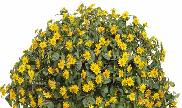 Creeping Zinnia flower