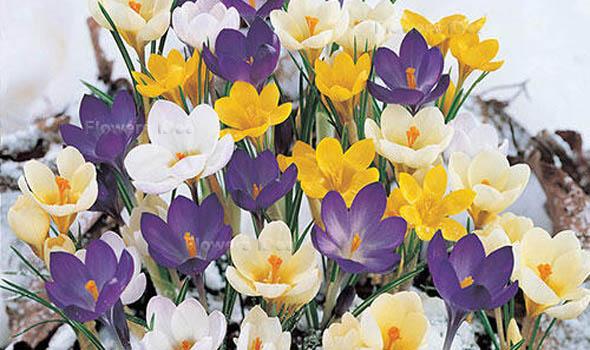 Crocus Flowers Bloom in Spring