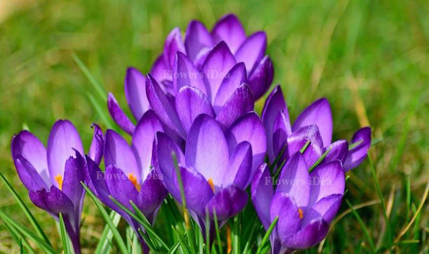 Crocuses Smallest Flowers
