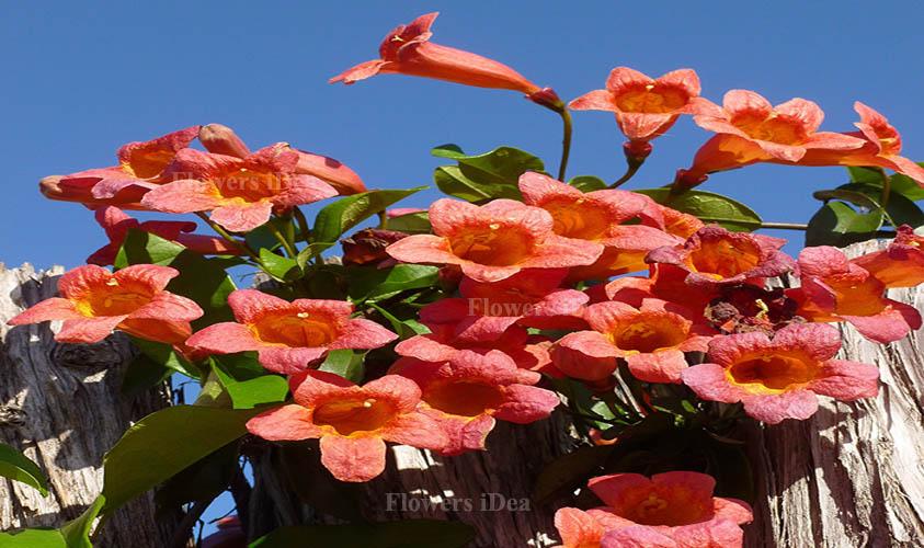 Crossvine Flowers Bloom in Fall