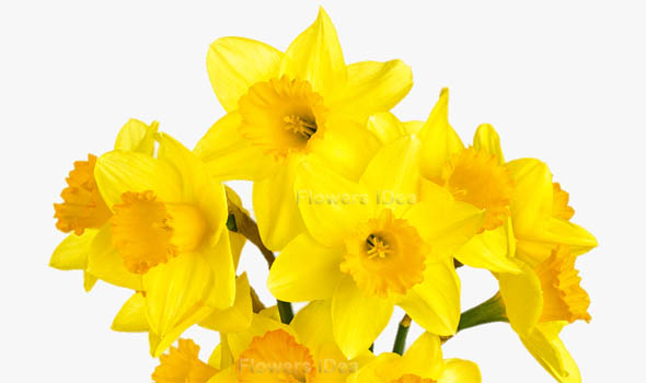 Daffodil Flowers Bloom in Spring