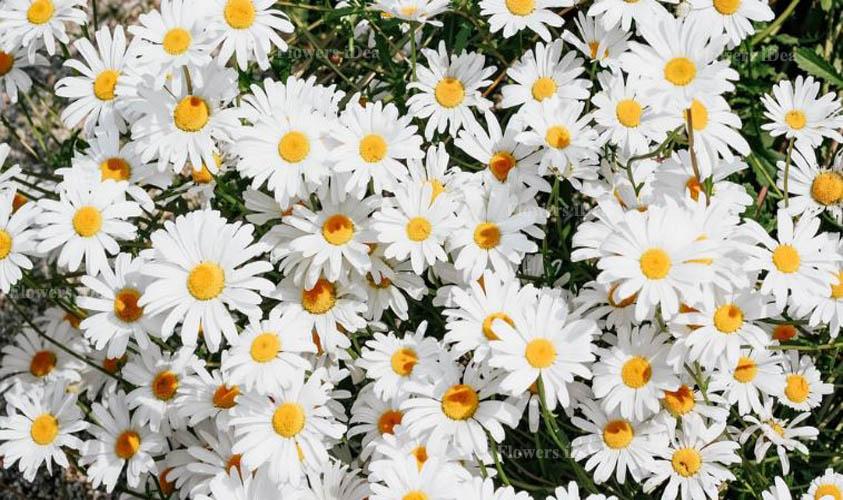 Daisy Beautiful Flowers