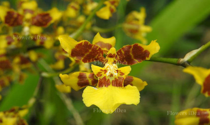 Dancing Lady Orchid is Strange Looking Flower