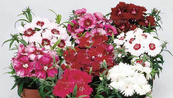 Dianthus Flowers Bloom in Spring
