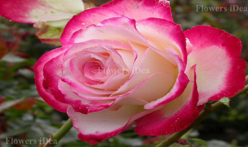Double Delight Fragrant Roses