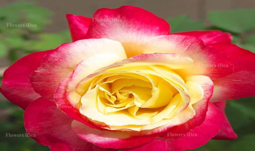 Double Delight Rose Flower