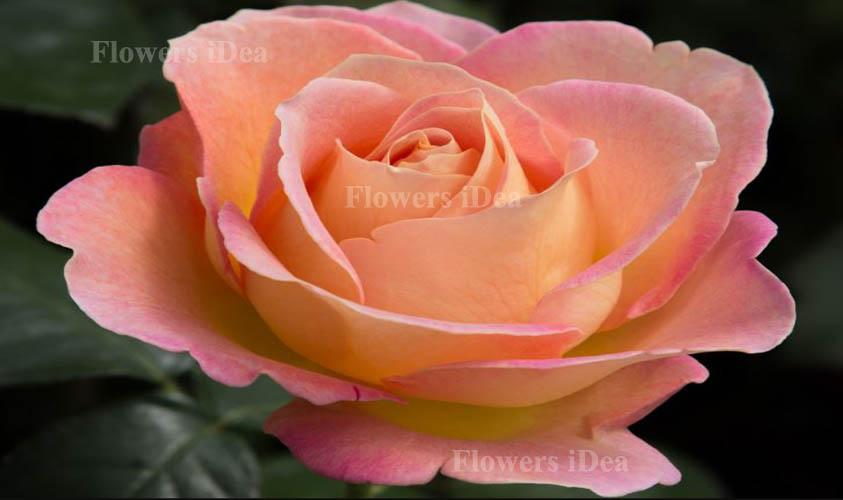 Elle Fragrant Roses