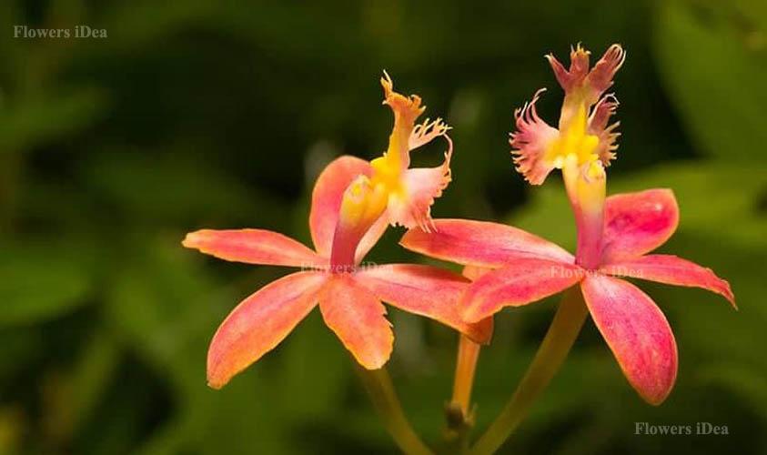 Epidendrum Orchids Flower