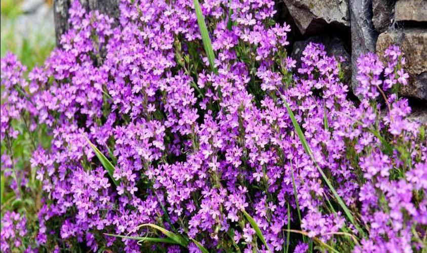 Fairy Foxglove Smallest Flowers