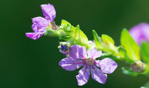 False Heather Flowers Bloom in Fall