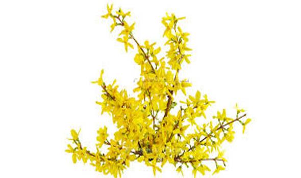 Forsythia Flowers Bloom in Spring
