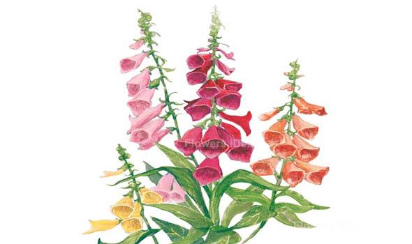 Foxgloves Flowers Bloom in Summer