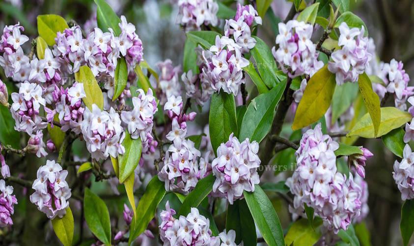 Fragrant Daphne Flower