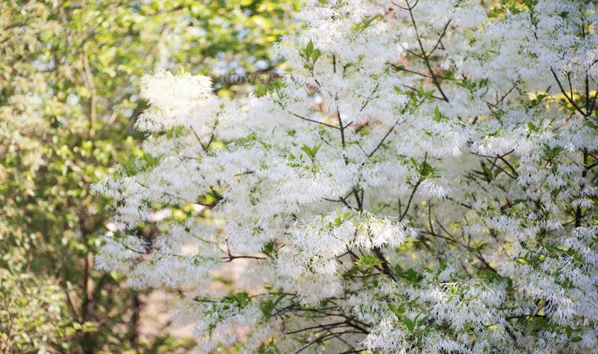 Fringetree Flower